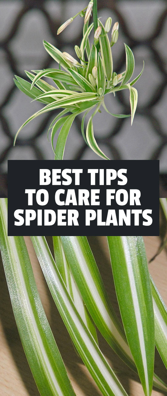 spider plant care chlorophytum comosum. Black Bedroom Furniture Sets. Home Design Ideas