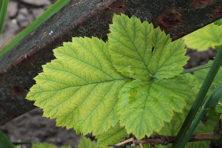 Iron deficiency symptom: leaf chlorosis