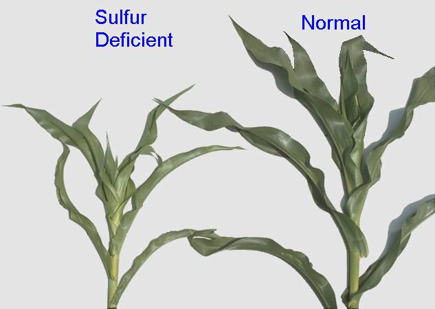 Sulfur deficiency in corn.