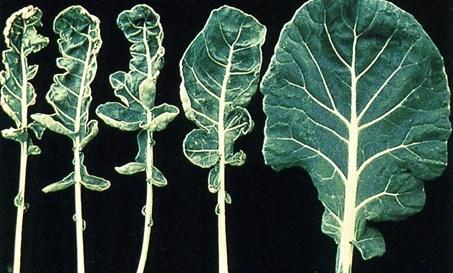 Molybdenum deficiency symptoms in a cauliflower leaf.