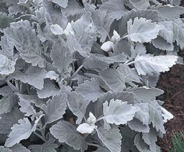 Dusty Miller 'Cirrus'
