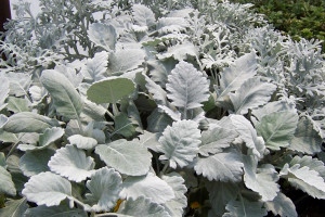 Dusty Miller 'New Look'