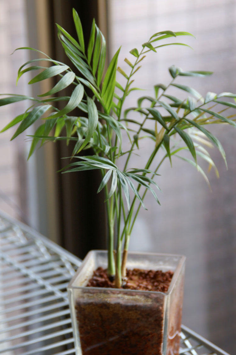 how to grow a parlor palm