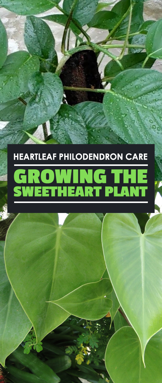 The heartleaf philodendron is one of the most popular philodendrons. It's easy to care for and brightens up your home, so learn how to grow it in this guide.