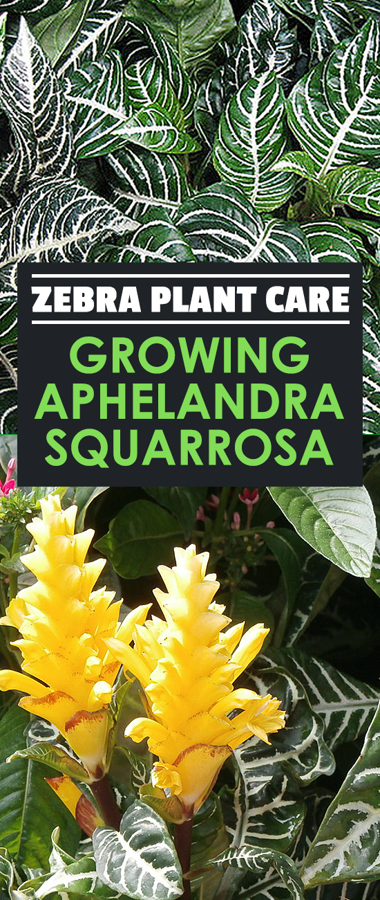 The zebra plant, or Aphelandra squarrosa, is a finicky but absolutely beautiful houseplant. Learn how to care for it in this in-depth plant guide.