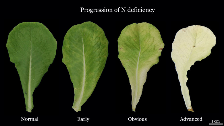 """An example of the opposite problem, nitrogen deficiency. If you take the """"normal"""" appearance and darken it, you have a classic symptom of nitrogen toxicity."""
