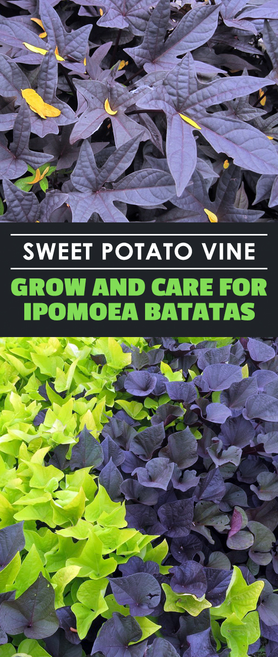 Learn all about the sweet potato vine… the ornamental sweet potato vine, that is! It's a wonderful houseplant and ground cover, so learn to grow it here.