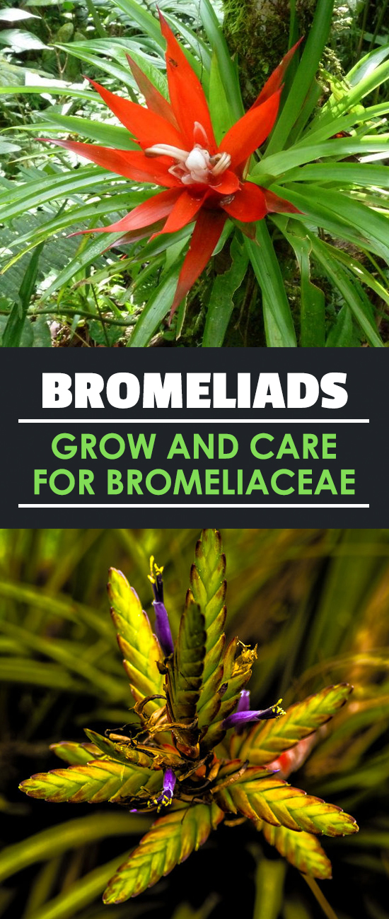 Do you love tropical, humidity-loving plants with vibrant and stunning flowers? Then look no further than bromeliads and read this in-depth growing guide.