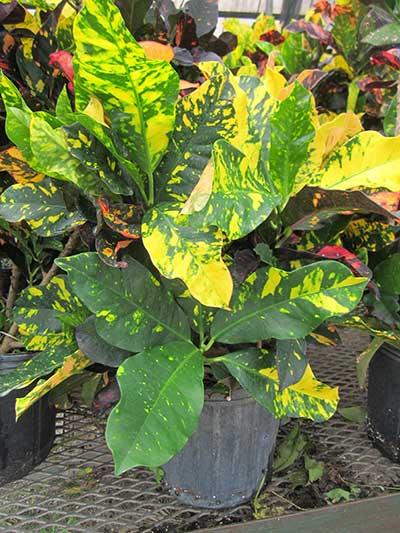 Codiaeum variegatum 'Magnificent'