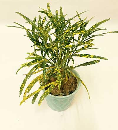 Codiaeum variegatum 'Eleanor Roosevelt'