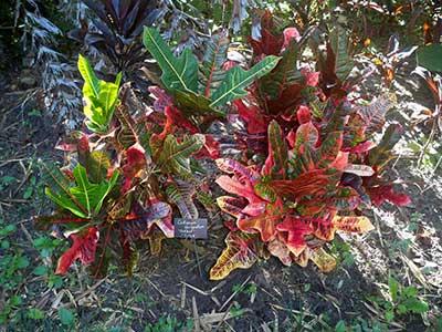 Codiaeum variegatum 'Oakleaf'