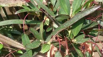Codiaeum variegatum 'Mother and Daughter'