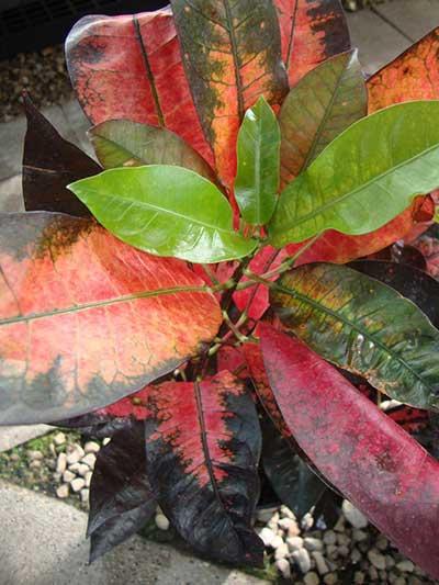 Codiaeum variegatum 'Mrs. Iceton'